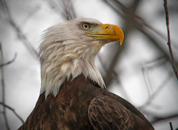Bald Eagle in Bald Eagle in Red Wing, Minnesota, Minnesota, #0620