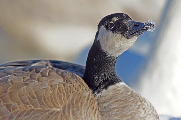 Canada Goose with icy beak in Minnesota, #0604