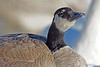 Canada Goose with icy beak in Minnesota, #0604