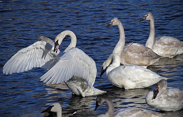 Trumpeter swans, #0600