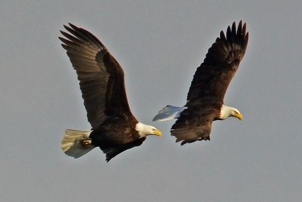 Bald Eagle in Minnesota, #0628