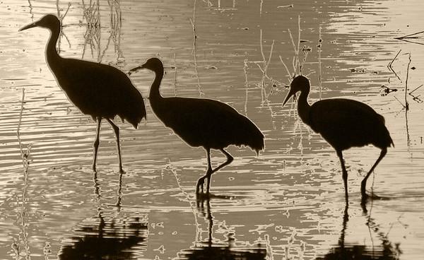 Sandhill Cranes at Bosque del Apache, Socorro, New Mexico  - #0002