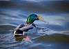 Mallard eating fish, Mississippi River, Minnesota, #0622