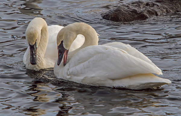 Trumpeter Swans - #0773