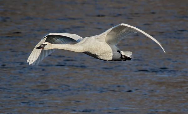 Trumpeter Swan - #0598