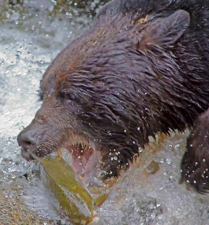 Black bear fishing for salman, Anan Creek , Alaska, #0402
