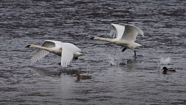 Trumpeter swans, #0648