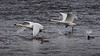 Trumpeter swans, #0648