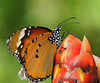Monarch Butterfly, #0203