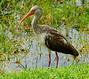 A juvenile white ibis in the Florida Everglades, #0211
