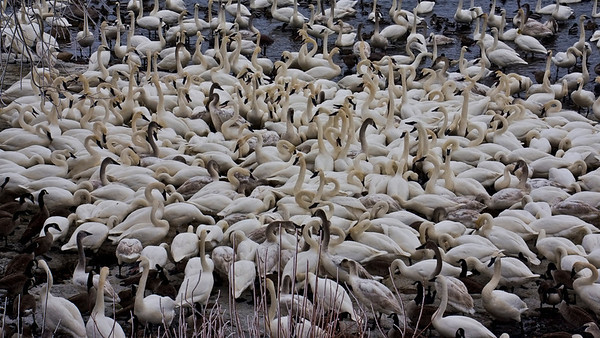 Bevy of Trumpeter swans, #0646