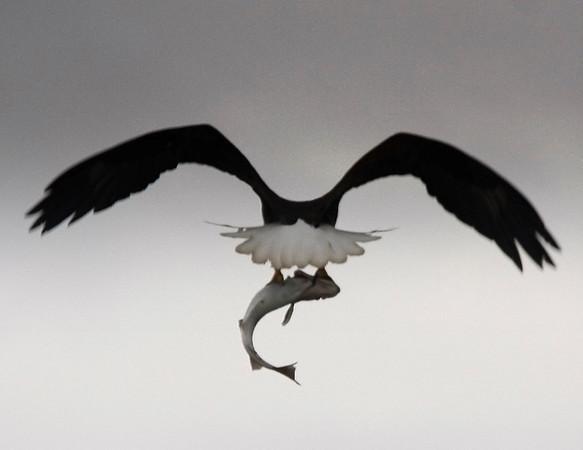 Alaskan Bald Eagle with fish  - #0024