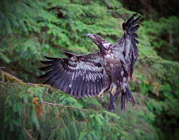 Juvenile Alaskan bald eagle at Anan River, #0383