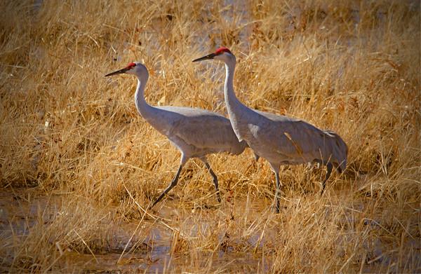 Sandhill Cranes - Socorro, NM - Bosque del Apache, #0220