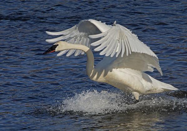 Trumpter Swan on landing; #1080