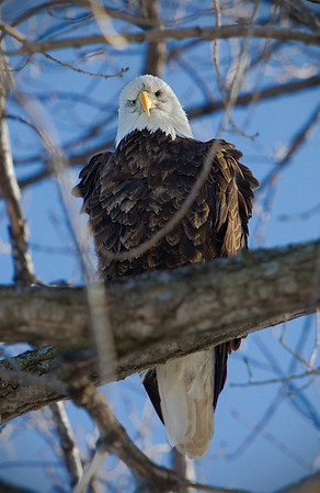 Bald Eagle in Red Wing, Minnesota, #0630