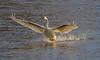 Trumpeter Swan - #0772