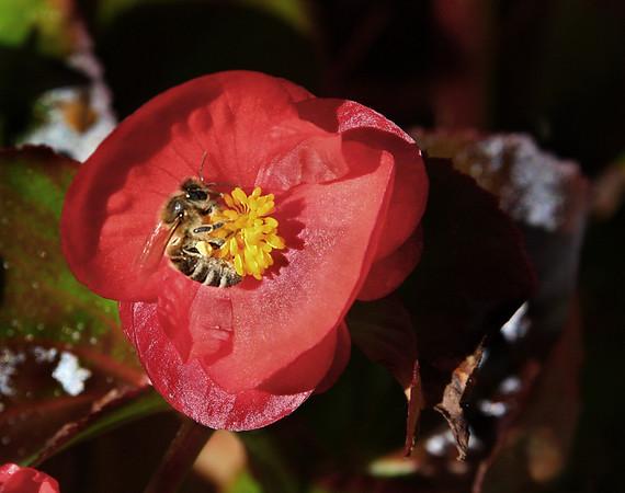 Yellow-jacket bee getting pollen on flower  - #0126