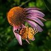 Cone Flower and Painted Lady butterfly, #2006