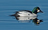 Greater Scaup on the Mississipp River, Minnesota, #0633
