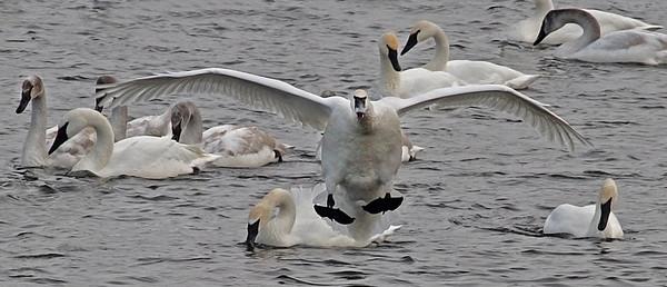 Trumpeter Swan - #0610