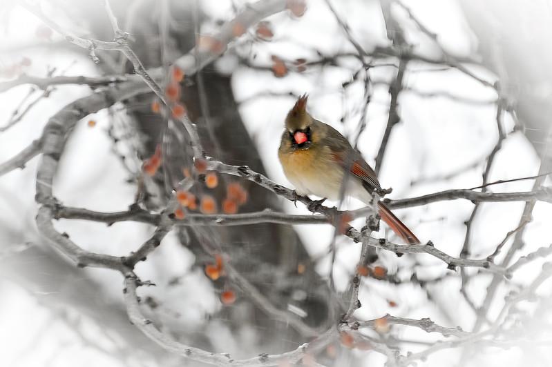 Cardinal Hen
