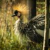African crowned Crane(balearica pavonina pavonina)