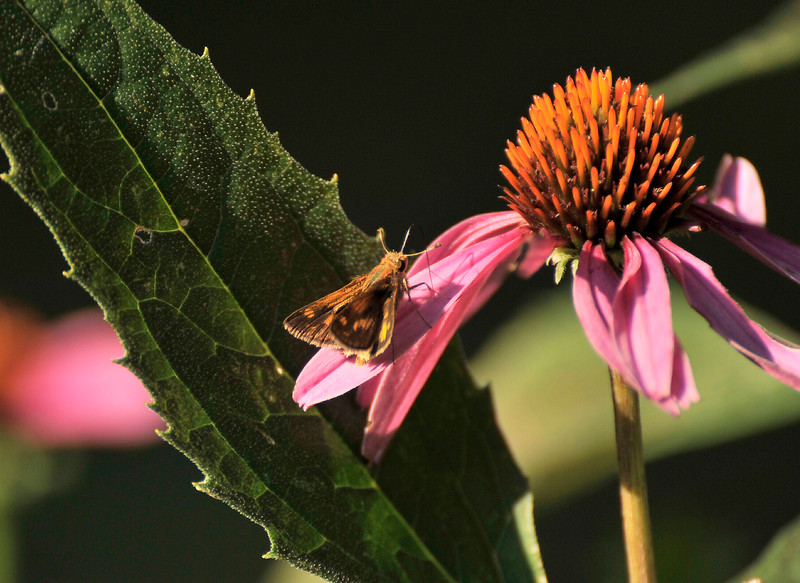 Moth on Cone flower