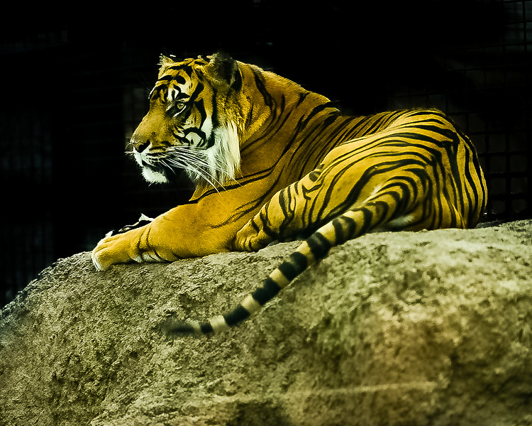 Rare Sumatran Tiger, only 400 known left in existence