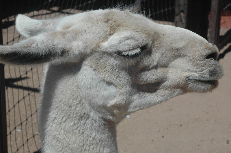 Young Llama, ready to spit
