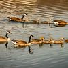 gosling races