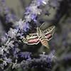 Helix Sphinx Moth