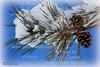 2014-02-15-Snow-PineCones-09