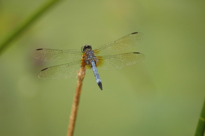Nature - animal Dragonfly - Everglades