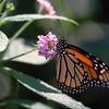 Monarch 3.jpg