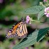 Monarch 2.jpg