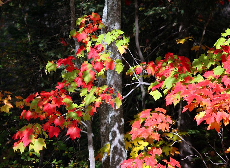 Pictured Rocks Foliage