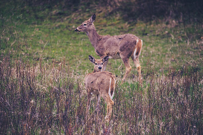 Two female deer.