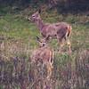 Two female deer.