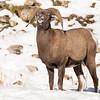 Bighorn Sheep - Talking.