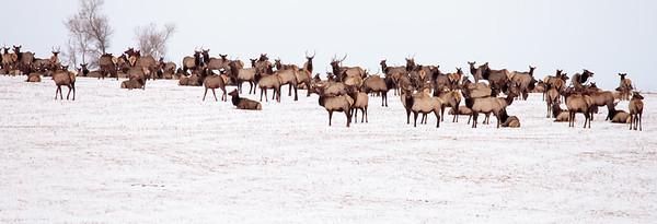 Montana Elk. 5871