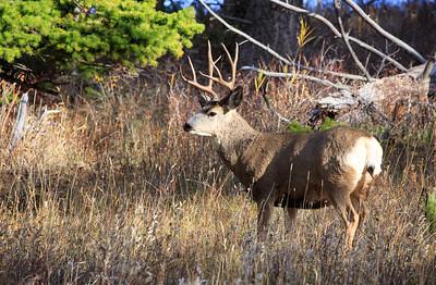 Mule Deer Buck.