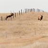 Bull Elk Jumping.