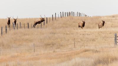 Bull Elk Jumping. 4267