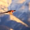 Male Pheasant in Flight.