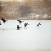 Geese Landing on Lake.