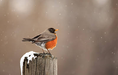 Robin watching snow fall. 8623