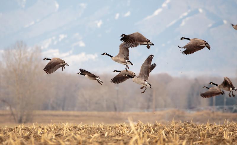 Geese starting in flight. 5445