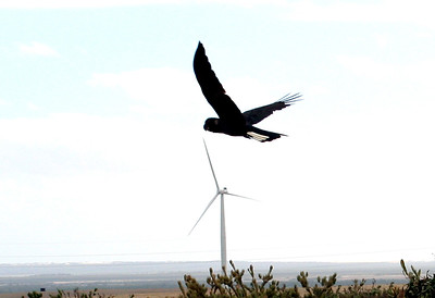 Black Cockatoo_ Emu Downs Wind Farm - Western Australia