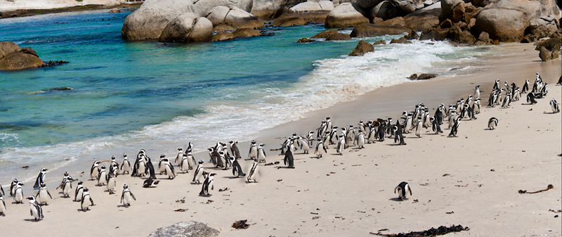 Boulders Beach Penguins 1-2